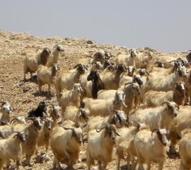 Lebanese goats