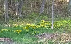Marsh Marigolds (photo: Naomi Guttman)